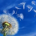 11 Health Benefits of Dandelion Leaves and Dandelion Root
